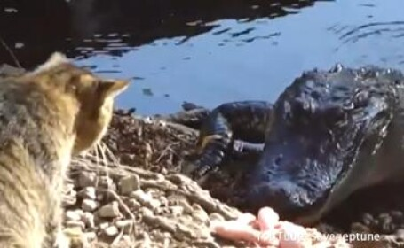 pisica se bate cu un aligator
