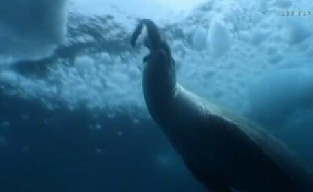 VIDEO. Cum arata pinguinul mutant \