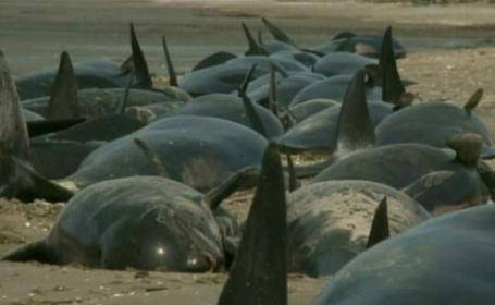 Peisaj dezolant pe litoralul din Noua Zeelanda. 39 de balene au murit dupa ce au esuat pe uscat