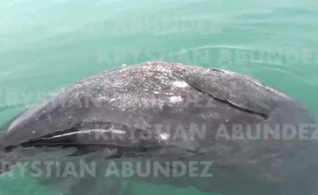 Balena cu doua capete, esuata pe o plaja, in Mexic. Imaginile video sunt unice