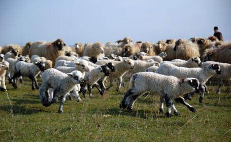 cioban cu oi turma