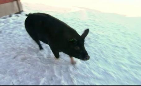 O purcelusa de 130 de kilograme, vedeta unui sat din Norvegia. Ce face in momentul in care este lasata libera prin curte
