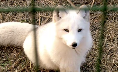 vulpe polară