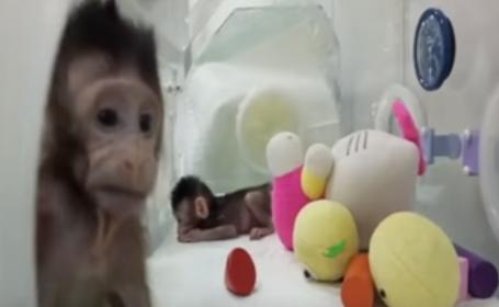 VIDEO. Premieră în lumea științei: Două maimuțe au fost clonate, prin aceeași metodă prin care a fost creată oaia Dolly
