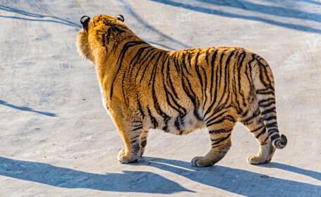 tigru de amur in zapada