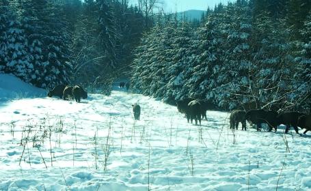 VIDEO. Turmă de zimbri, filmată în libertate, într-un parc natural din România