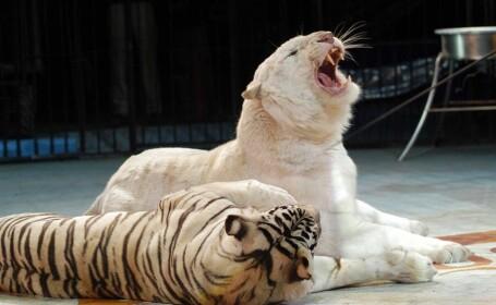 tigri la circul globus