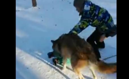 Copil atacat de un lup \