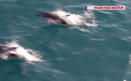 A început recensământul delfinilor din Marea Neagră. Specia, în mare pericol