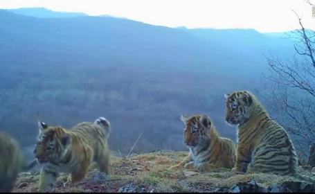 pui de tigru siberian