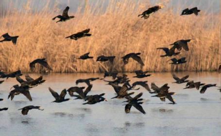 cormorani