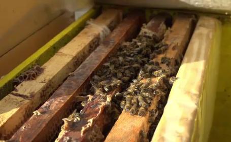 Cum a afectat albinele vremea caldă din decembrie. Apicultorii sunt disperaţi