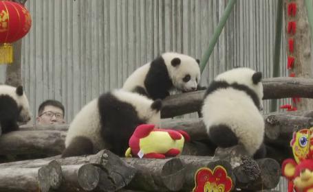 Imagini emoționante. Cum au fost primiți 20 de pui de panda la debutul în fața presei