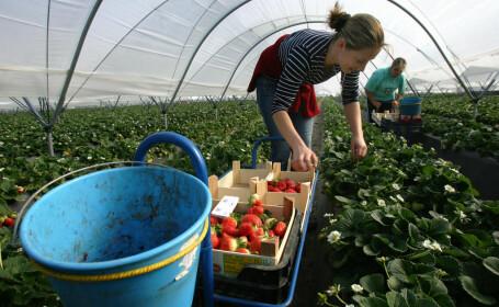 """La Botoșani se caută peste 900 de """"căpșunari"""" care să meargă să lucreze în Spania"""