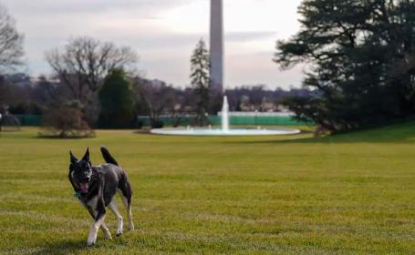 Câinii ciobănești ai lui Joe Biden au ajuns la Casa Albă. Care sunt poveștile lui Champ și Major
