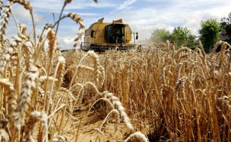 75% din graul cultivat zace inca in lan. Pretul painii ar putea creste
