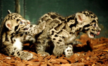 Doi mici leoparzi patati, vedete la Zoo Paris. VIDEO