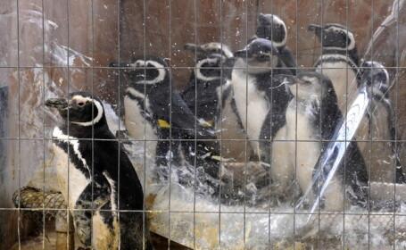 Pinguini cu petrol, esuati in Uruguay
