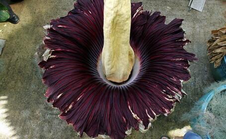 Floarea-cadavru