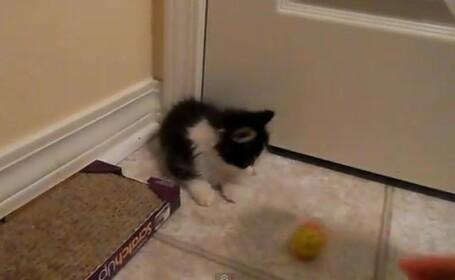Anakin, pisica cu 2 picioare