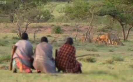 Documentar BBC: Cum reusesc trei africani flamanzi sa fure mancarea unui grup de lei. VIDEO