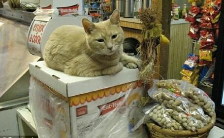 Stubbs pisica primar