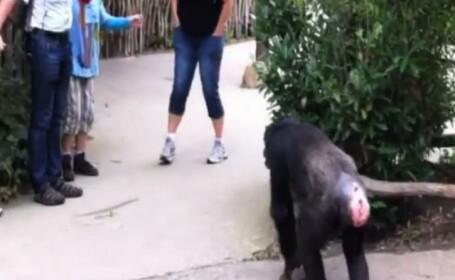 cimpanzeu evadeaza de la zoo