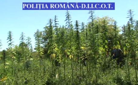 plantatie de cannabis