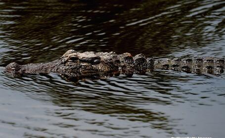 Aligator - GETTY