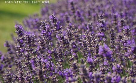 Dealurile din Transilvania incep sa se coloreze in violet. Cat de profitabile pot fi culturile de levantica