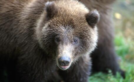 Un vanator a scapat de atacul unui urs grizzly dupa ce si-a bagat o mana pe gatul animalului. \