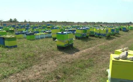 Invazia albinelor intr-un sat din Gorj. Insectele au devenit agresive din cauza caldurii: \