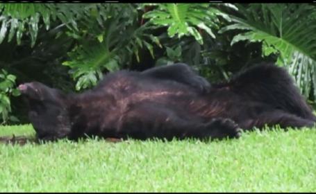 Ce se intampla cand un urs devoreaza 10 kg de mancare pentru caini. Intamplarea de care a avut parte o familie din SUA