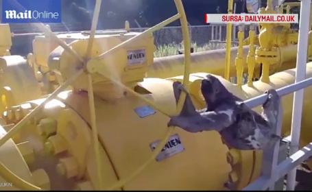 Un lenes din Peru s-a agatat de maneta unei conducte de gaz. Muncitorii au inceput sa filmeze scenele amuzante