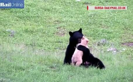 O joaca intre o ursoaica din Canada si puiul ei a facut furori pe internet