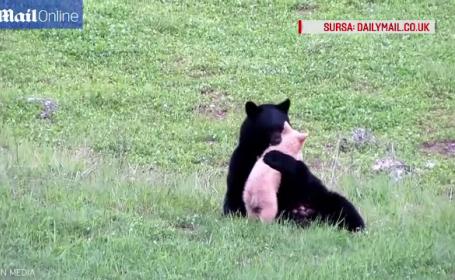 Momente de tandrete intre o ursoaica neagra si puiul sau alb ca laptele. Privitorii au filmat joaca celor doi