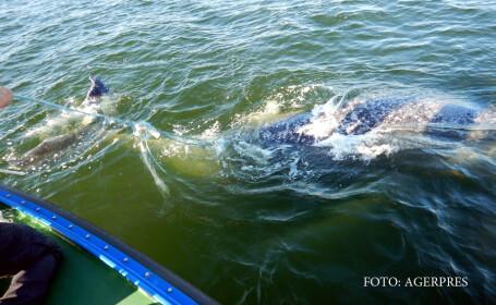 balena prinsa in plase