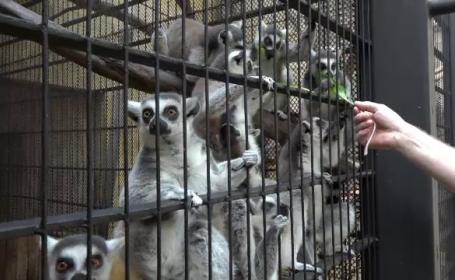 Specia de lemurieni pe cale de disparitie salvata la un ZOO din Romania. Ce buruieni din tara noastra le plac in mod special