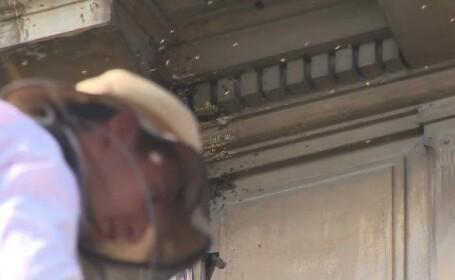 Un roi de circa 40.000 de albine si-a facut cuib intr-o institutie din Ploiesti. Operatiunea speciala prin care a fost mutat