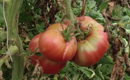 Premiul pe care îl vor câștiga agricultorii din Olt pentru cea mai mare roșie din județ