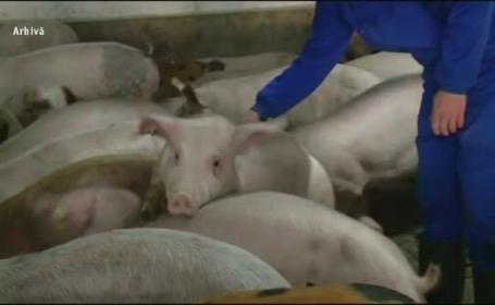 Pesta porcină africană afectează sudul și estul României. Zeci de focare descoperite