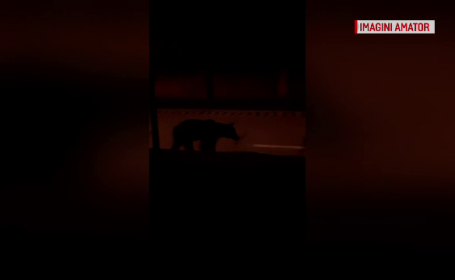 Un urs a intrat într-un restaurant şi a golit frigiderele, în Tușnad. Ce face în fiecare noapte