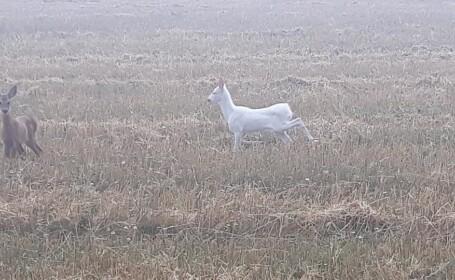 Imagini virale cu o căprioară albă pe un câmp din Cluj: \