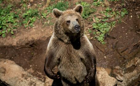 """Urs descris ca fiind """"geniu al evadării"""", vânat de pădurari. Au ordin să îl omoare"""