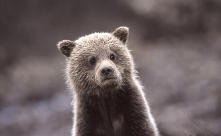 Turiștii din Mureș, avertizați că ursul cu care s-au tot fotografiat ar putea să îi atace
