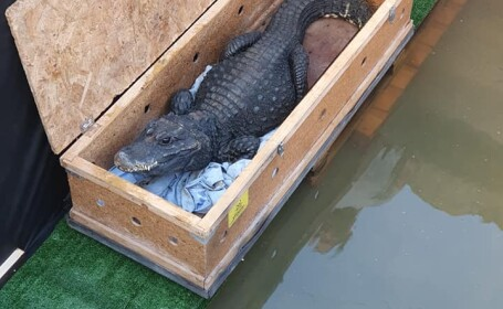 Un arădean s-a apucat să crească crocodili. Cum i-a venit ideea