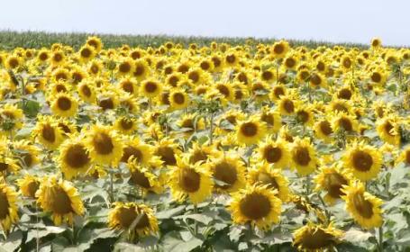 """De la agonie, la extaz. Recoltele au fost salvate la limită de ploaie: """"Floarea soarelui a explodat"""""""