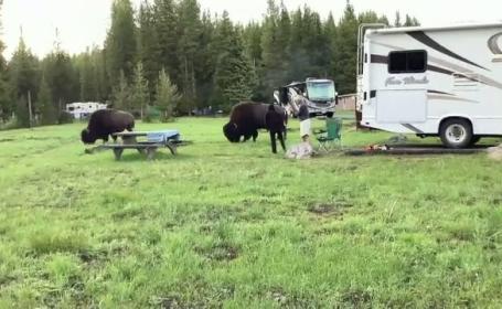 Experiență la limită. Femeie, lovită cu coarnele și aruncată la câțiva metri de un bizon