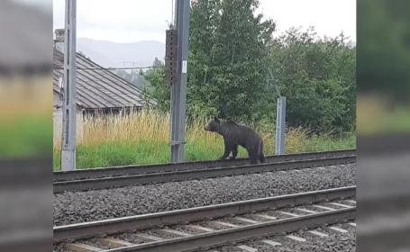 Autoritățile din Bușteni sunt în alertă: o ursoaică își caută puii care au fost loviți de tren