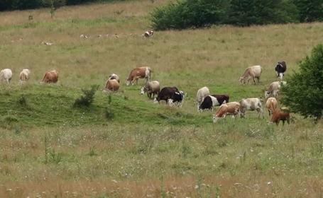 Verificări la un depozit de deșeuri din Brașov după moartea suspectă a mai multor vaci